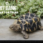 亀の貯金箱。PET BANK Star Tortoise